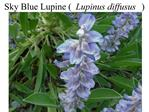 Sky Blue Lupine Lupinus diffusus
