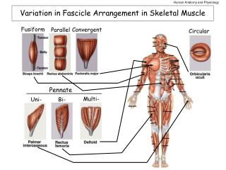 Variation in Fascicle Arrangement in Skeletal Muscle