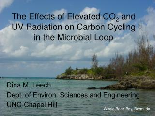 The Effects of Elevated CO2 and UV Radiation on Carbon Cycling in the Microbial Loop