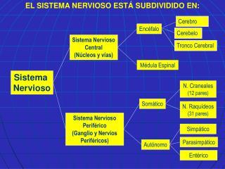 Sistema Nervioso Perif rico Ganglio y Nervios Perif ricos