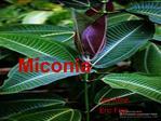Miconia