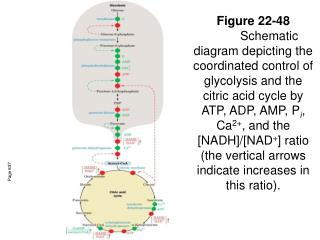 Figure 22-48 Schematic diagram depicting the coordinated control of glycolysis and the citric acid cycle by ATP, ADP, AM