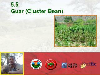 5.5 Guar Cluster Bean