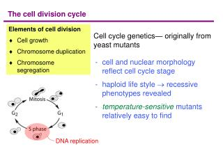 Cell cycle genetics  originally from yeast mutants