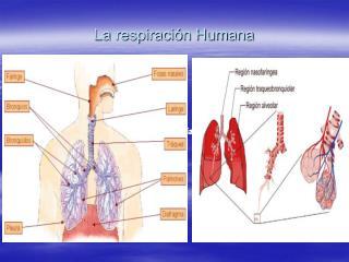 La respiraci n Humana
