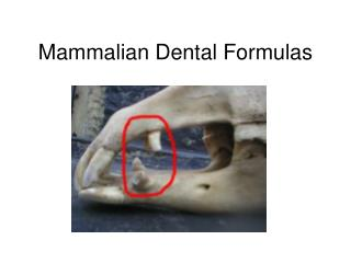 Mammalian Dental Formulas
