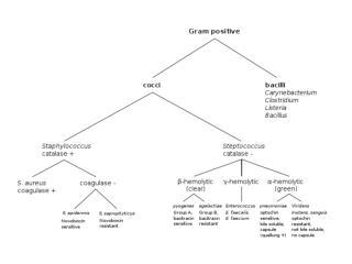 Coryneform bacteria, listeria and erysipelothrix