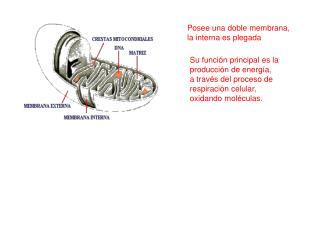 Posee una doble membrana, la interna es plegada