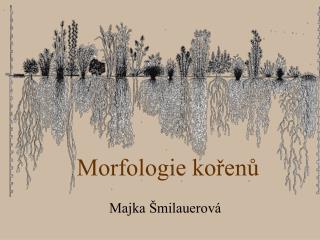 Morfologie korenu