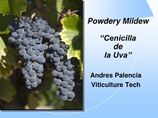 Powdery Mildew   Cenicilla  de  la Uva