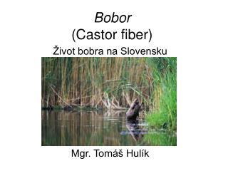 Bobor  Castor fiber