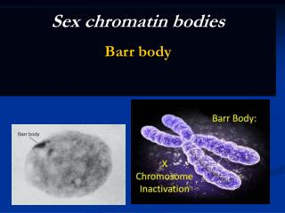 Sex chromatin bodies Barr body