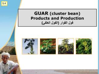 GUAR cluster bean Products and Production