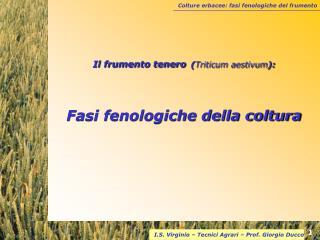 Il frumento tenero Triticum aestivum:  Fasi fenologiche della coltura