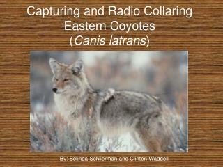 Capturing and Radio Collaring Eastern Coyotes Canis latrans