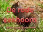 De rode eekhoorn