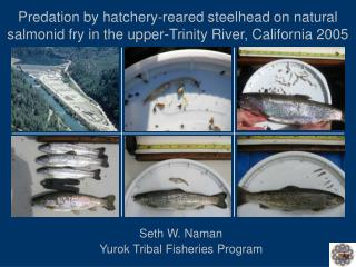 Predation by hatchery-reared steelhead on natural salmonid fry in the upper-Trinity River