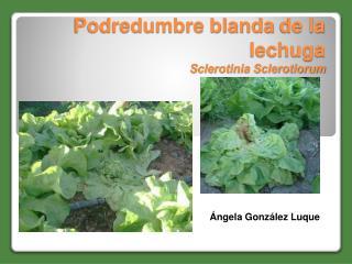 Podredumbre blanda de la     lechuga Sclerotinia Sclerotiorum