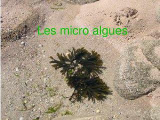 Les micro algues