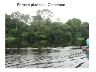 Foresta pluviale   Cameroun