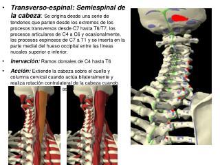Transverso-espinal: Semiespinal de la cabeza: Se origina desde una serie de tendones que parten desde los extremos de lo