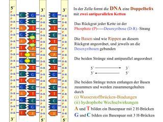 In der Zelle formt die DNA eine Doppelhelix  mit zwei antiparallelen Ketten