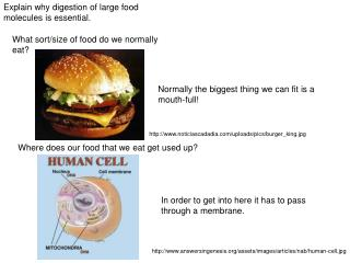 Explain why digestion of large food molecules is essential.