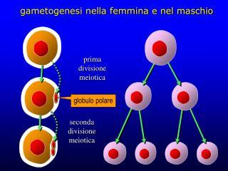 Gametogenesi nella femmina e nel maschio
