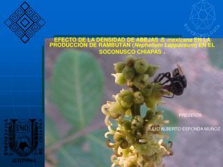 EFECTO DE LA DENSIDAD DE ABEJAS S. mexicana EN LA PRODUCCI N DE RAMBUT N Nephelium Lappaceum EN EL SOCONUSCO CHIAPAS .