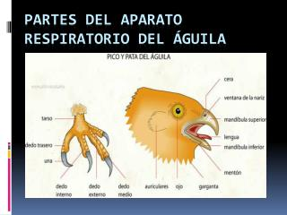 Partes del Aparato Respiratorio del  guila