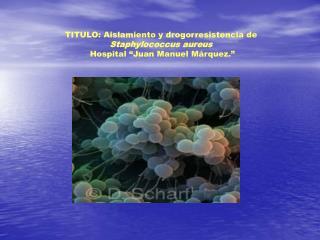 TITULO: Aislamiento y drogorresistencia de Staphylococcus aureus   Hospital  Juan Manuel M rquez.