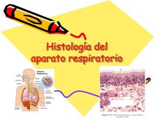 Histolog a del aparato respiratorio
