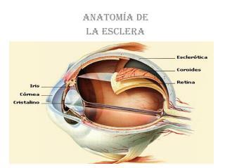 Anatom a de  la esclera