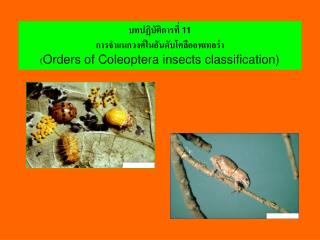 11   Orders of Coleoptera insects classification