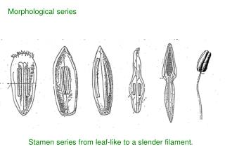 Stamen series from leaf-like to a slender filament.