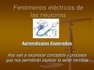 Fen menos el ctricos de las neuronas