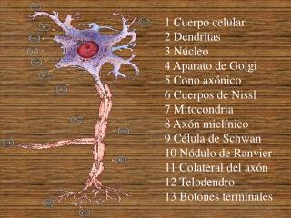 1 Cuerpo celular  2 Dendritas  3 N cleo  4 Aparato de Golgi  5 Cono ax nico  6 Cuerpos de Nissl  7 Mitocondria  8 Ax n m