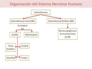 Organizaci n del Sistema Nervioso Humano