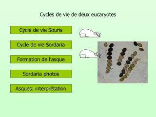 Cycles de vie de deux eucaryotes
