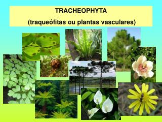 TRACHEOPHYTA  traque fitas ou plantas vasculares