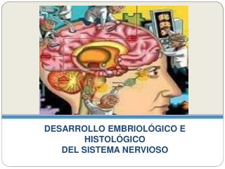 DESARROLLO EMBRIOL GICO E HISTOL GICO  DEL SISTEMA NERVIOSO