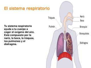 Tu sistema respiratorio ayuda a tu cuerpo a coger el ox geno del aire. Est  compuesto por la nariz, la boca, la tr quea,