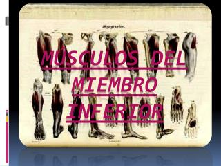M SCULOS DEL MIEMBRO INFERIOR