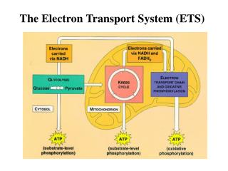 The Electron Transport System ETS