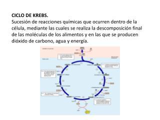 CICLO DE KREBS. Sucesi n de reacciones qu micas que ocurren dentro de la c lula, mediante las cuales se realiza la desco