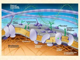 Transporte pasivo: Cuando no se requiere energ a para que una sustancia cruce la membrana plasm tica.   Transporte Activ