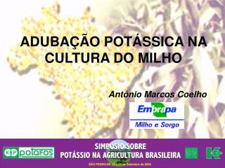 ADUBA  O POT SSICA NA CULTURA DO MILHO
