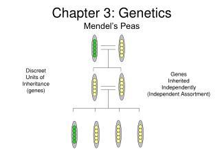 Chapter 3: Genetics Mendel s Peas