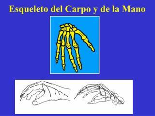 Esqueleto del Carpo y de la Mano