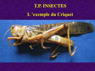 T.P. INSECTES  L  exemple du Criquet